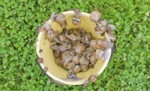 Como-eliminar-babosas-y-caracoles-del-jardin-2