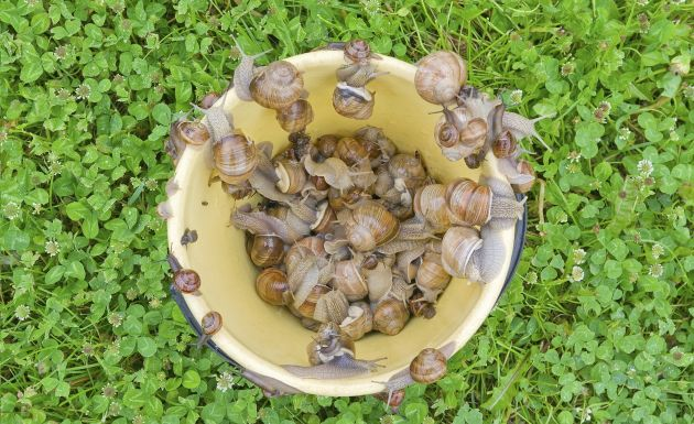 C mo deshacerse de los caracoles for Caracol de jardin alimentacion
