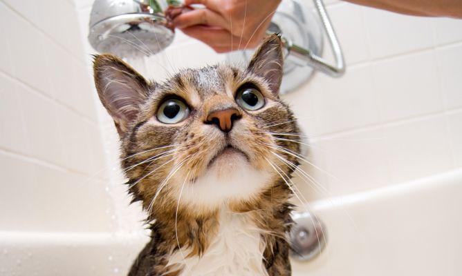 pulgas de gato